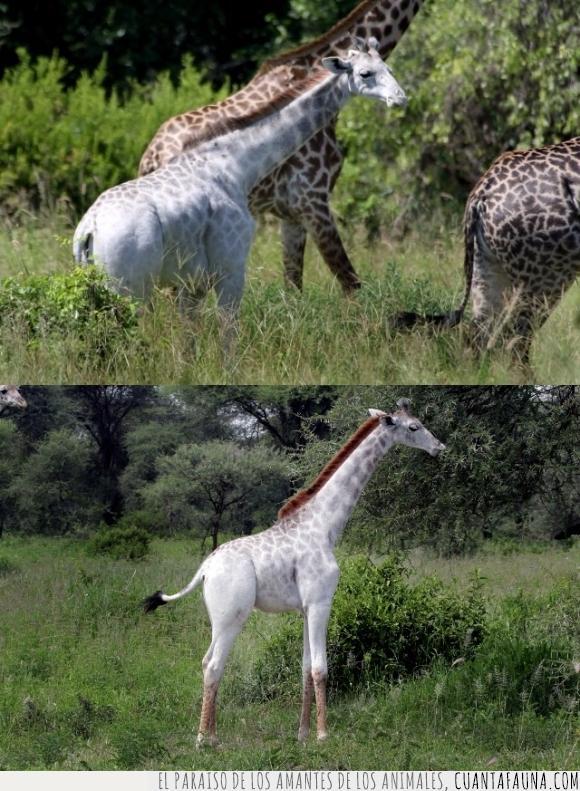albina,blanca,blanco,color,jirafa,omo,Tanzania