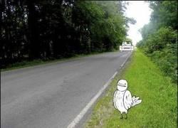 Enlace a Pájaros suicidas de la carretera