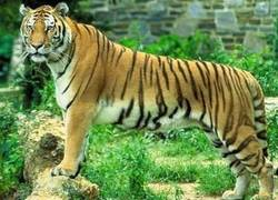 Enlace a Feel like a tigre