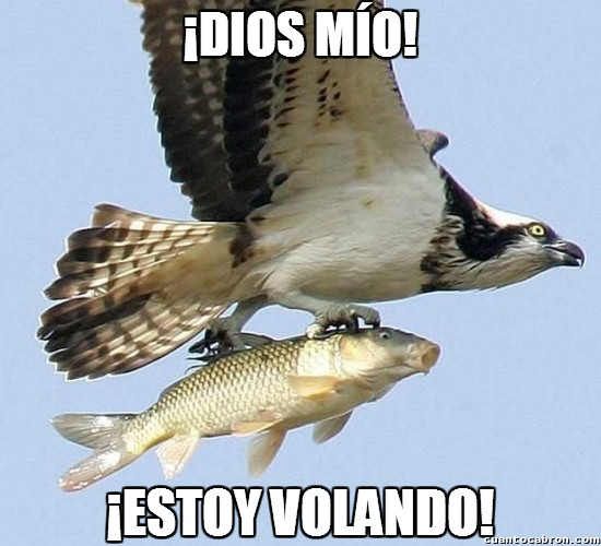 águila pescadora,Carpa,devorar,entusiasmo,FAIL,Pandion haliaetus,volar