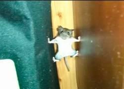 Enlace a Este raton tiene un gran futuro como ninja