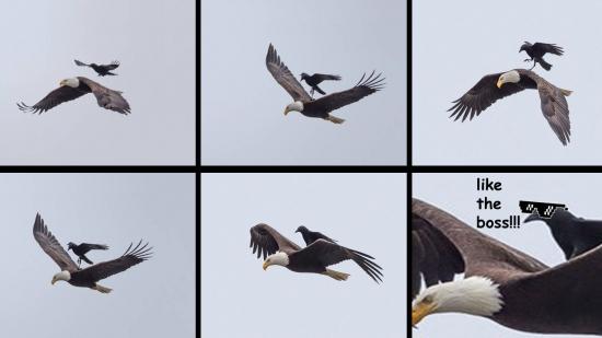 Meme_otros - El domador de águilas