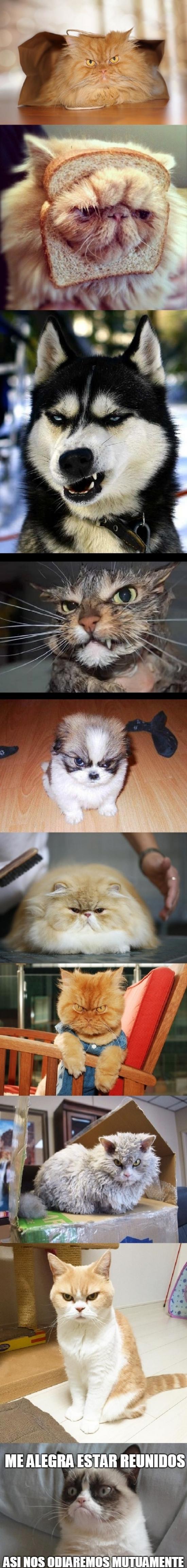 Grumpy_cat - La familia grumpy llegó para quedarse