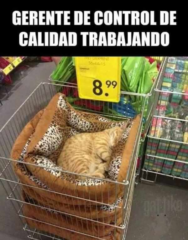 Meme_otros - Está haciendo un excelente trabajo, señor gato