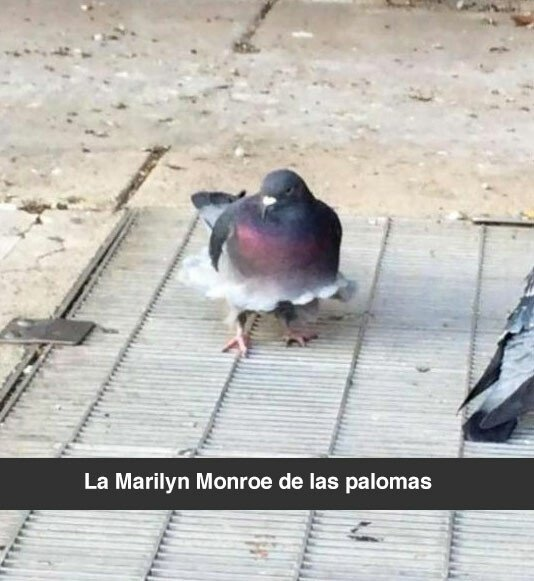 Meme_otros - No me mires las plumas
