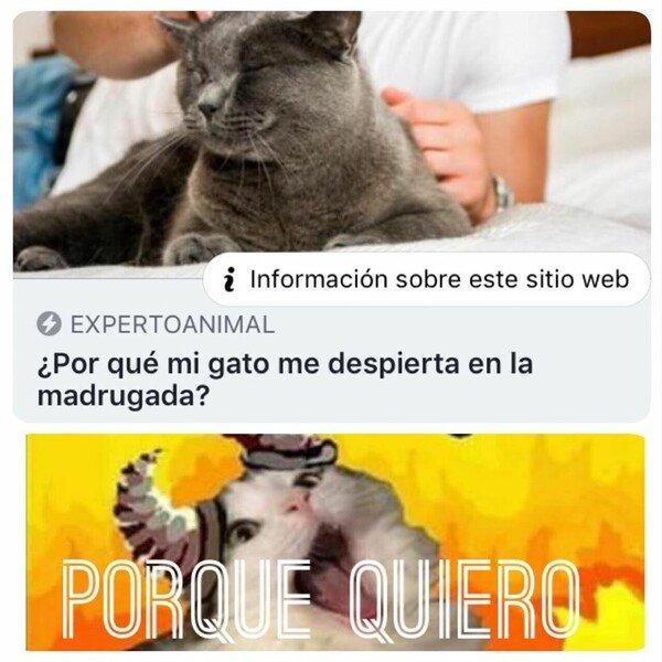 Meme_otros - Porque su condición de gato así lo define
