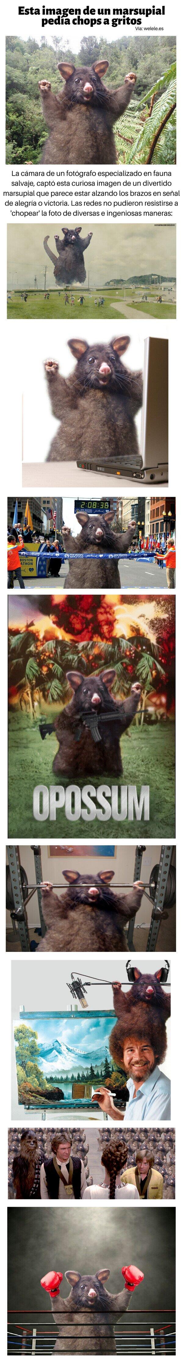 Meme_otros - Esta imagen de un marsupial pedía chops a gritos