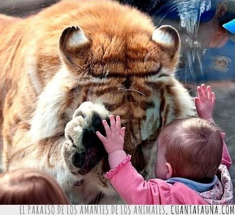 monada,perdón,tigre