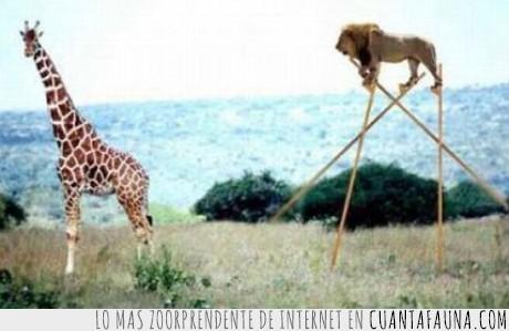 darwin,jirafa,león,zancos