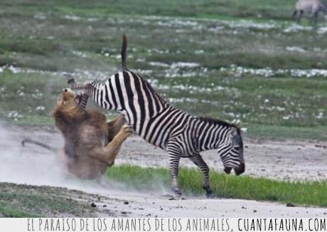 La Zebra,leon,patada