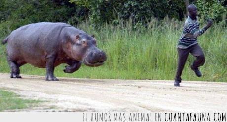 áfrica,hipopótamo,negro,persecución
