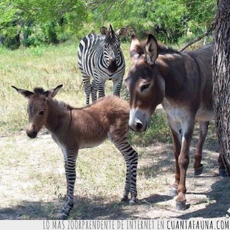 burro,cebra,colaterales,efectos,zonkey