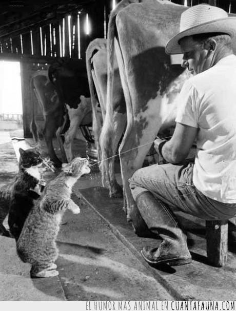 gatos,muñir,vacas