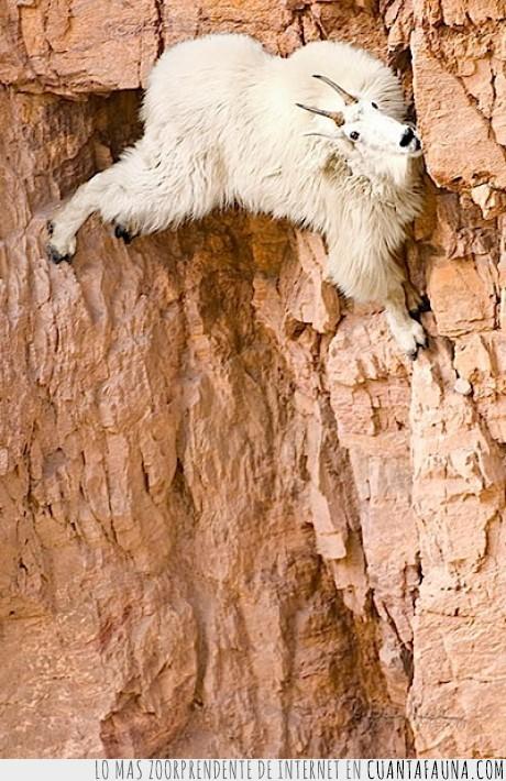 cabra,escalando,loca,montaña