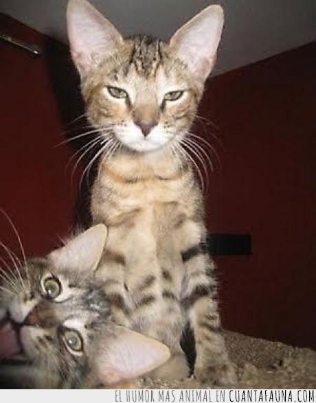 felino,gato,jodefotos