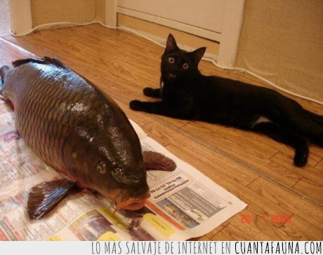 comer,enorme,gato,pánico,pez