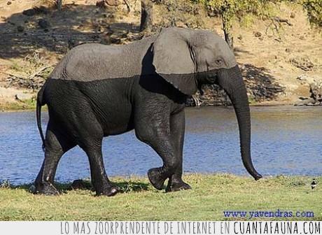 agua,cargando,curioso,elefante