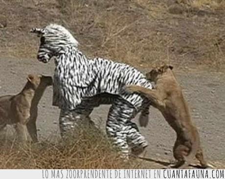apuesta,cebra,disfraz,humana,leona