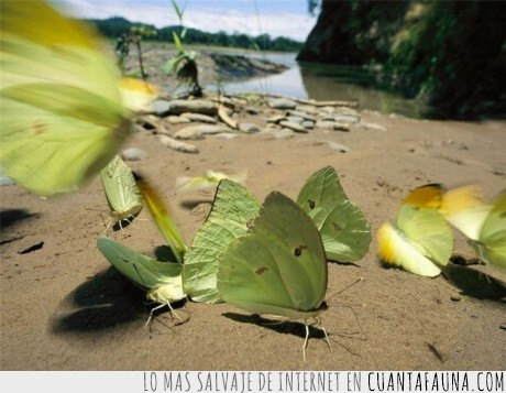 camuflaje,hoja,mariposa
