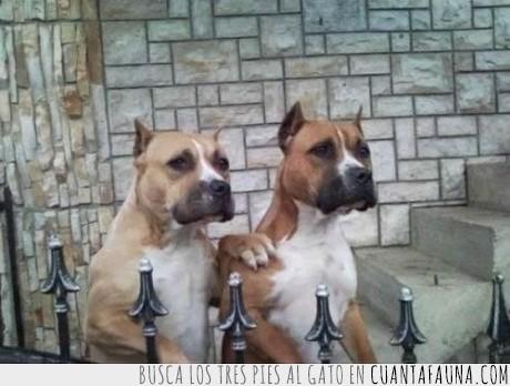 barandal,hermano,perro,pitbull
