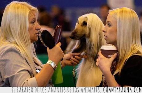 cepillo,concurso,pelo,perro,rubias