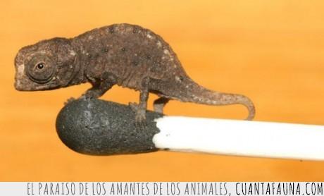 animales,Camaleon,diminuto,madagascar