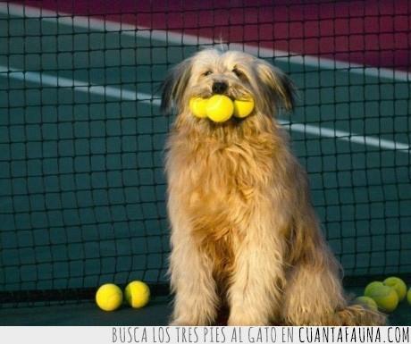 boca,pelotas,perro,recogepelotas,tenis