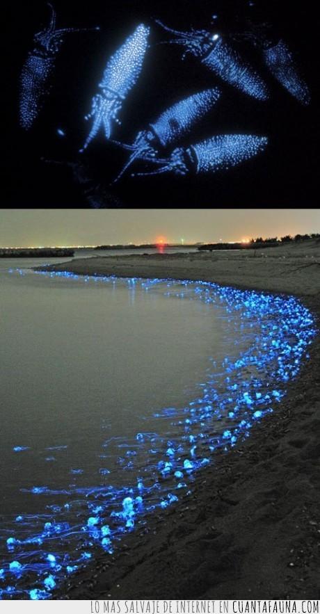 asiaticos,calamares,fosforito,japoneses,luz,medusas,orilla,pez
