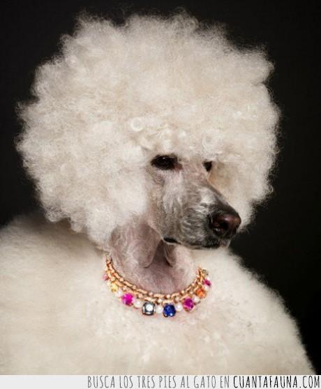 afro,alba,blanco,collar,duquesa,perra,perro