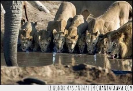 beber,comer,elefante,familia,leon