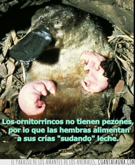 leche,ornitorrinco