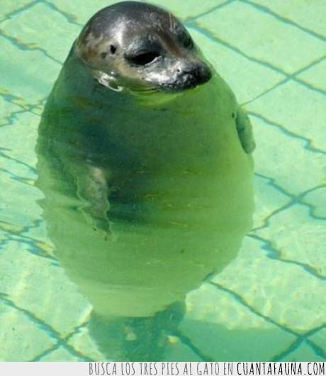 agua,chapuzón,foca,gordo