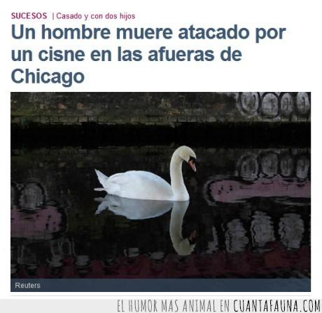 ataca,cisne,hombre,patito feo,swan