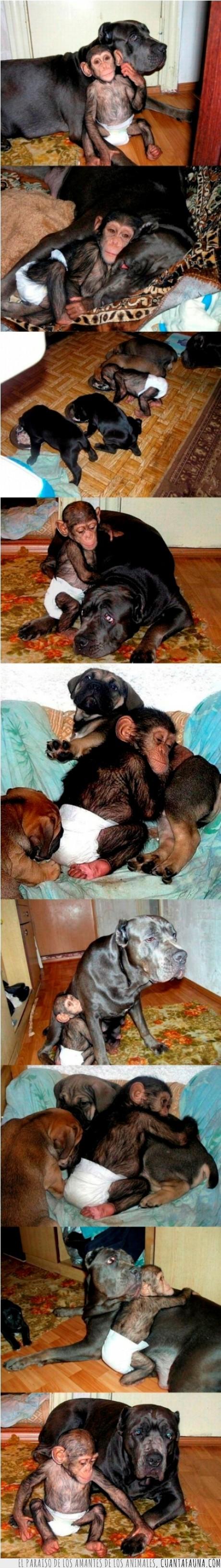 adopción,amor,animal,chimpacé,huérfano,Mastín,mono,perro