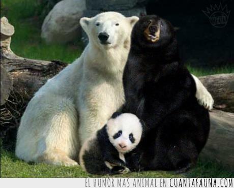 los pandas son en realidad marsupiales,negro,osa,oso,panda,polar