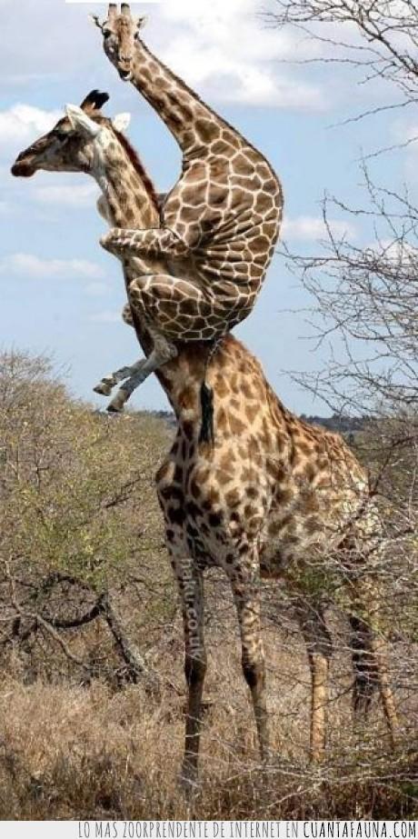 amigo,cobarde,jirafa,leon,miedo,raro