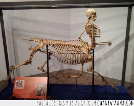 caballo,centauro,esqueleto,hombre,hueso,museo