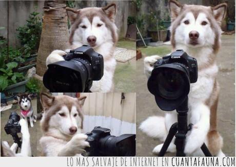 camara,canon,fotografo,husky,perro,profecional,wtf