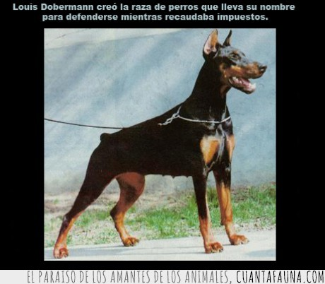 dato,defender,defensa,dobermann,impuesto,perro,proteccion