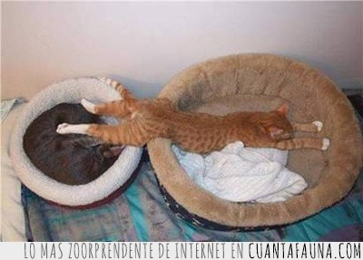 cama,gato,ocupar,tumbado,vago