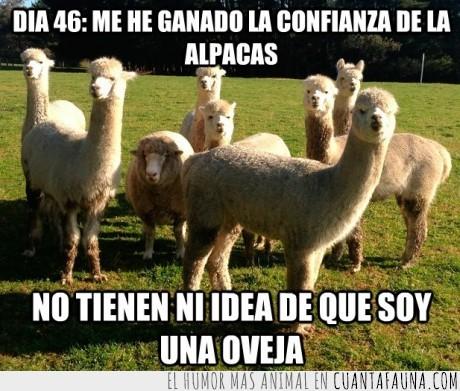 alpacas,asesinato,dia46,oveja,plan