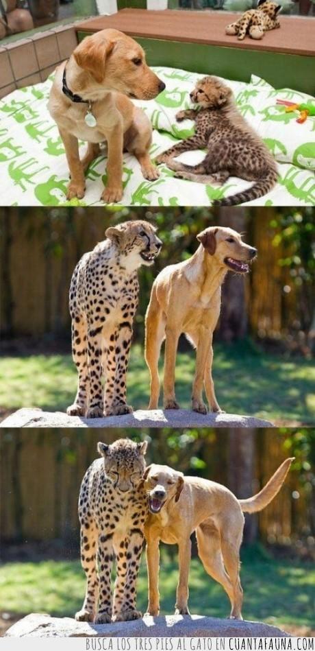 amigos,amistad,crecer,juntos,leopardo,perro