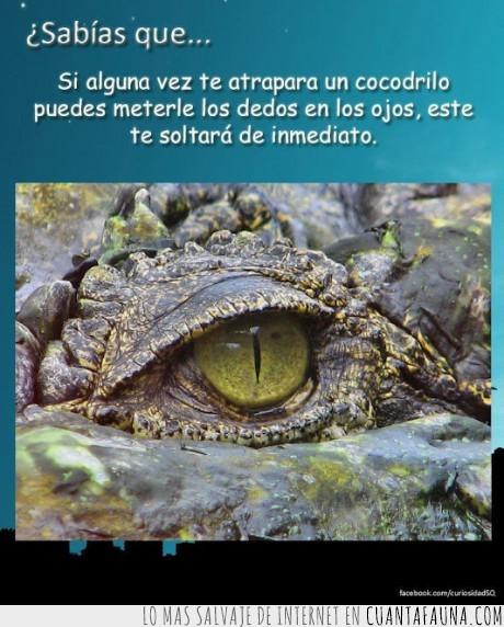 cocodrilo,dedo,meter,muy util si vives en el Nilo,ojo,pum,soltar