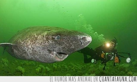 es de piedra?,que huevos tiene el fotografo,Somniosus microcephalus,tiburón