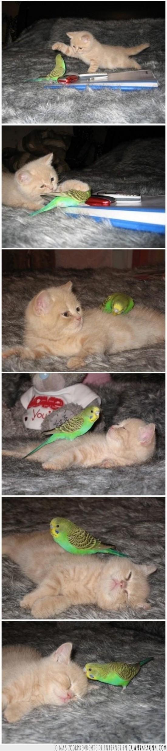 amigos,gato,pajaro,periquito