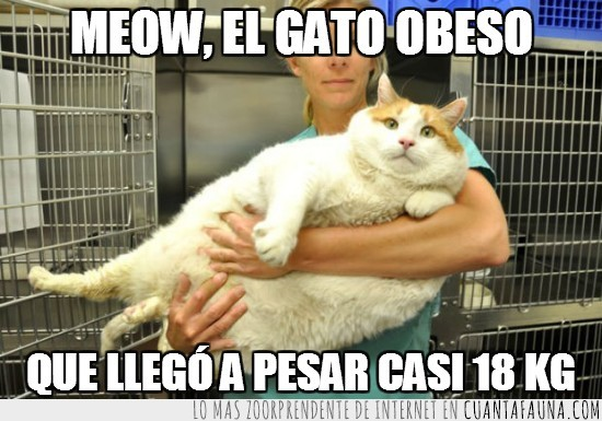 18,gato,gordo,kilos,meow,obeso,RIP