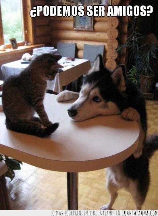 amistad,gato,husky,mesa,pedir,perro amigo