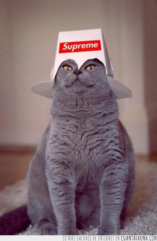 carton,casco,corona,felino,gato,gorro,lider,papel