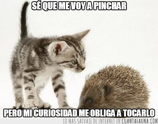 curiosidad,erizo,gato,obligar,pinchar,tocarlo