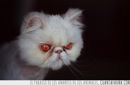 gato,inyectados,maligno,malvado,ojos rojos,sangre